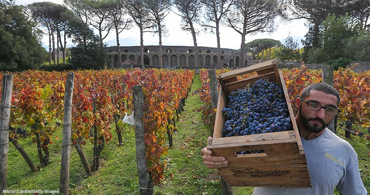 A worker harvests grapes near Pompeii in Italy. The country's wine production dropped 17% from 2016 to 2017.